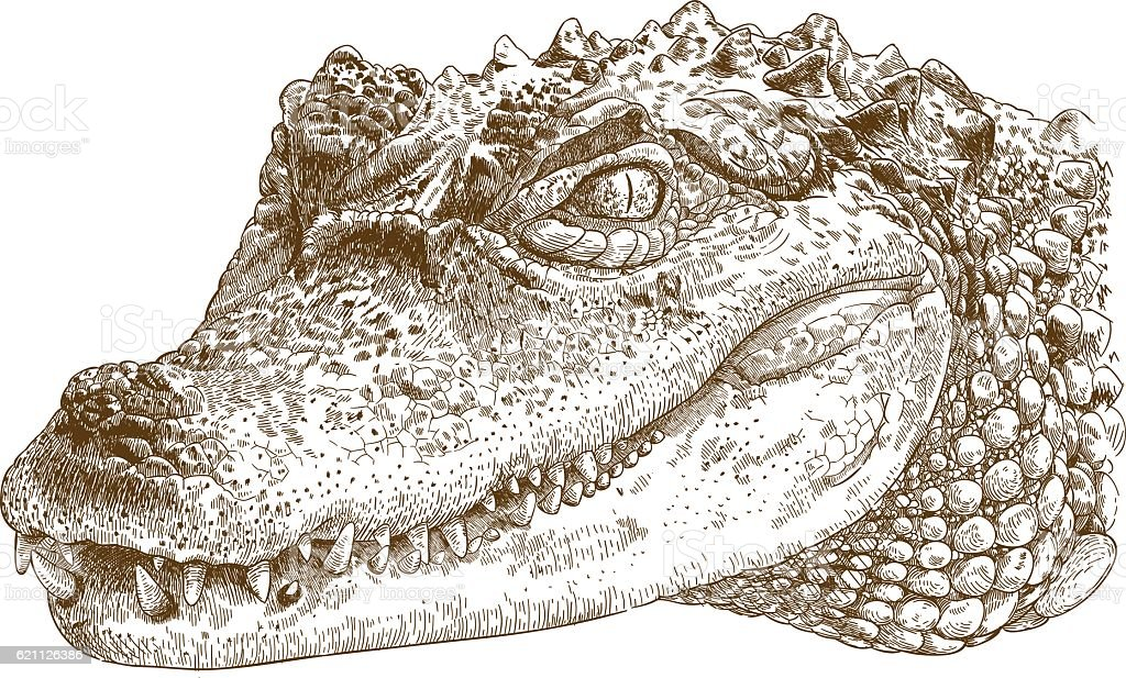engraving illustration of crocodile head - Illustration vectorielle