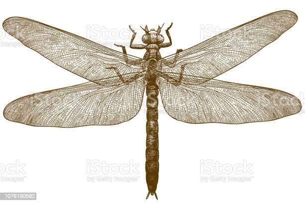 Engraving illustration of dragonfly meganeura vector id1076190582?b=1&k=6&m=1076190582&s=612x612&h=jj7l9zvuyfc kbqral3aexk zfetlu6kxbtjkeqq4n4=