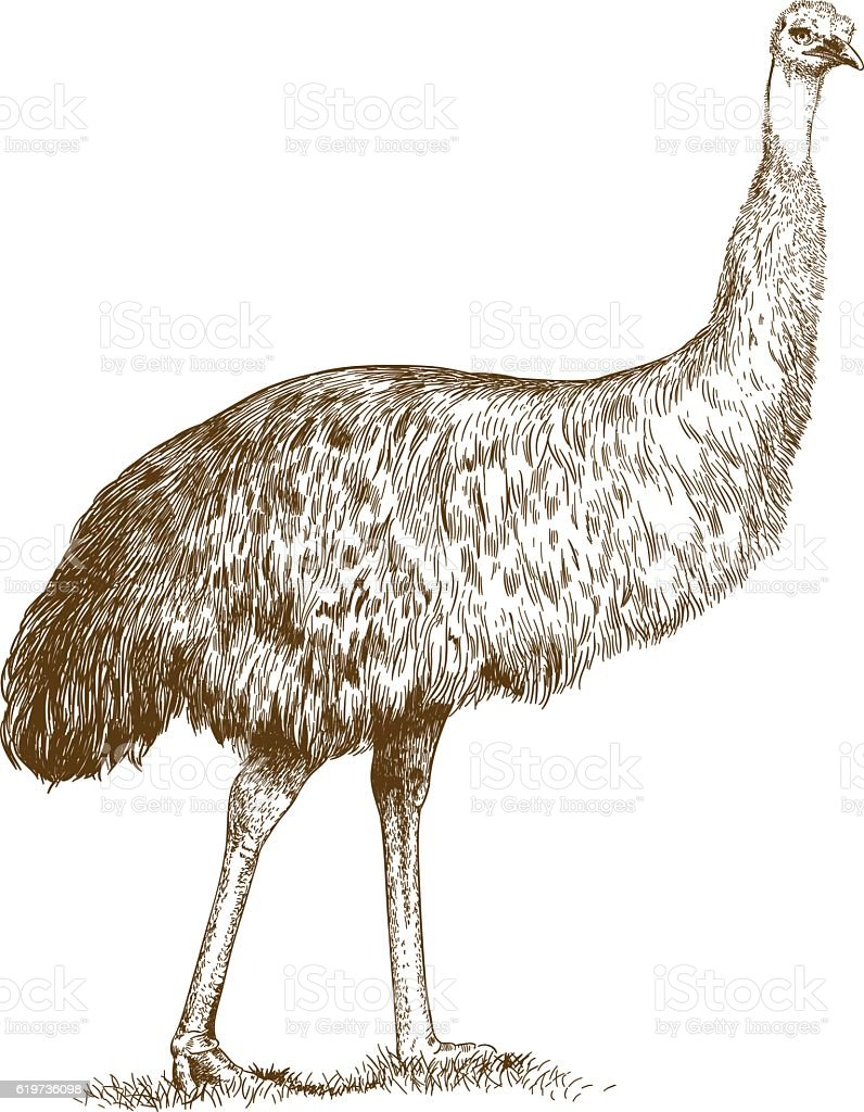 engraving  illustration of engraving ostrich Emu vector art illustration