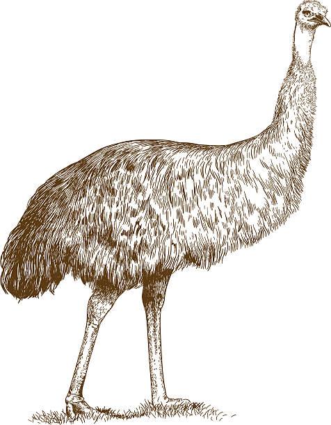 engraving  illustration of engraving ostrich Emu - Illustration vectorielle