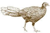 engraving illustration of female silver pheasant