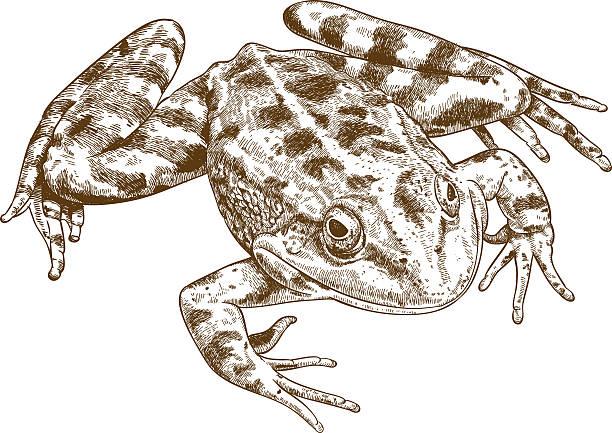 stockillustraties, clipart, cartoons en iconen met engraving illustration of frog - wildplassen