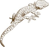 istock engraving illustration of gecko 680502172