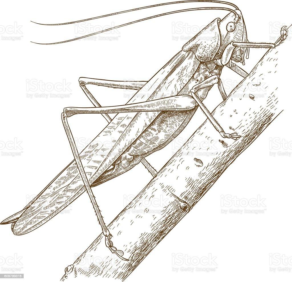 engraving illustration of grasshopper vector art illustration
