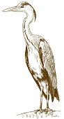 engraving illustration of great blue heron