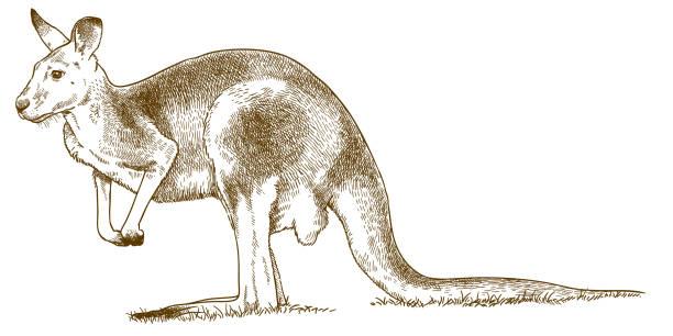 engraving illustration of grey kangaroo Vector antique engraving drawing illustration of western grey kangaroo isolated on white background kangaroo stock illustrations