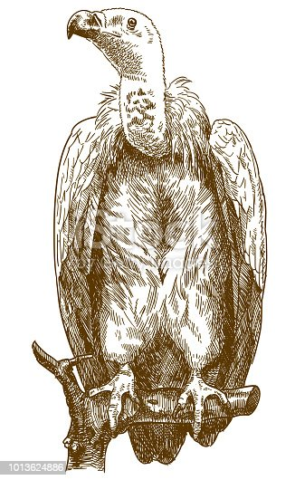 istock engraving illustration of himalayan vulture 1013624886