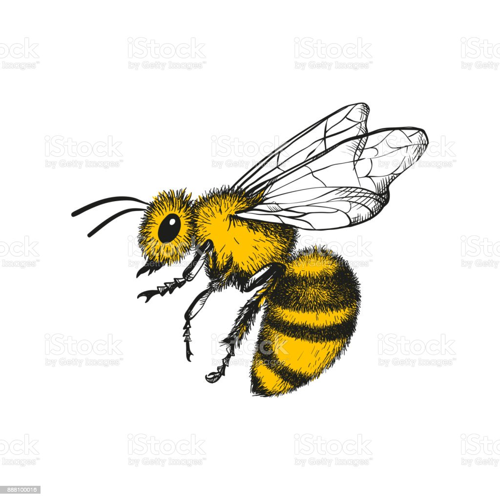 Gravur-Abbildung der Honigbiene – Vektorgrafik