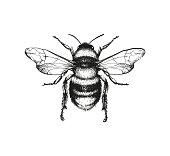 istock Engraving illustration of honey bee 888100382