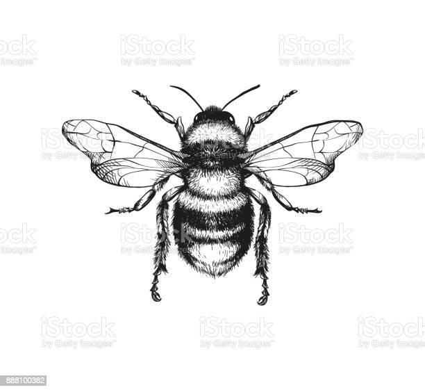Engraving illustration of honey bee vector id888100382?b=1&k=6&m=888100382&s=612x612&h=d4aok kzkin3kixzizq4hxti7aofrwyftekdxzrwoaa=