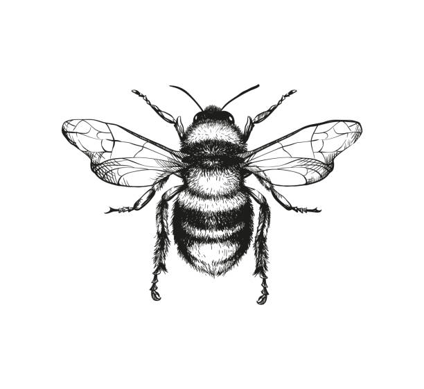 Engraving illustration of honey bee Vector engraving illustration of honey bee on white background living organism stock illustrations