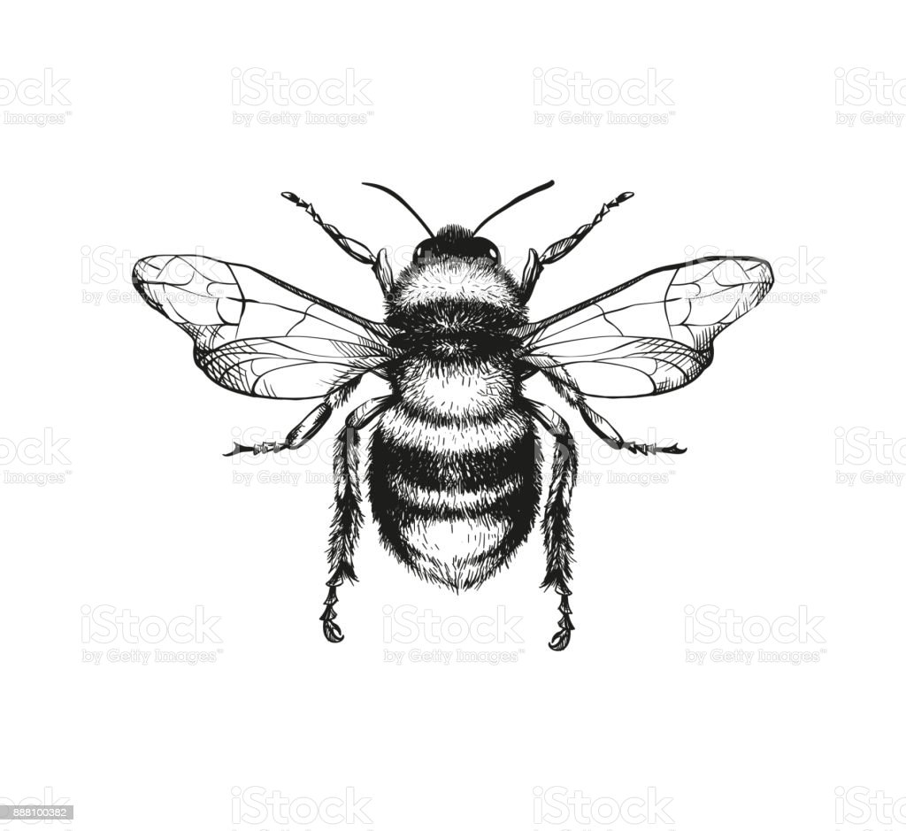 Engraving illustration of honey bee vector art illustration