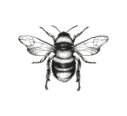 Engraving Illustration Of Honey Bee Stock Illustration - Download Image Now