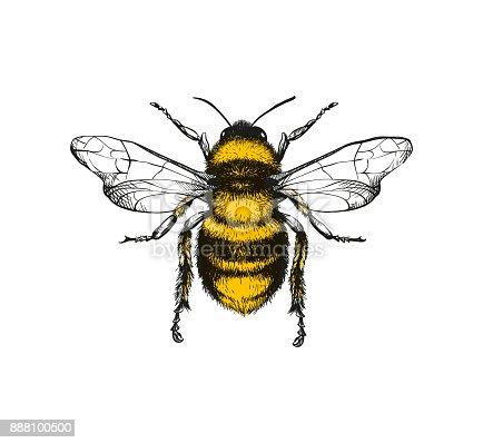 istock Engraving illustration of honey bee 888100500