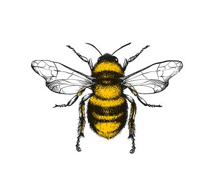 Engraving illustration of honey bee