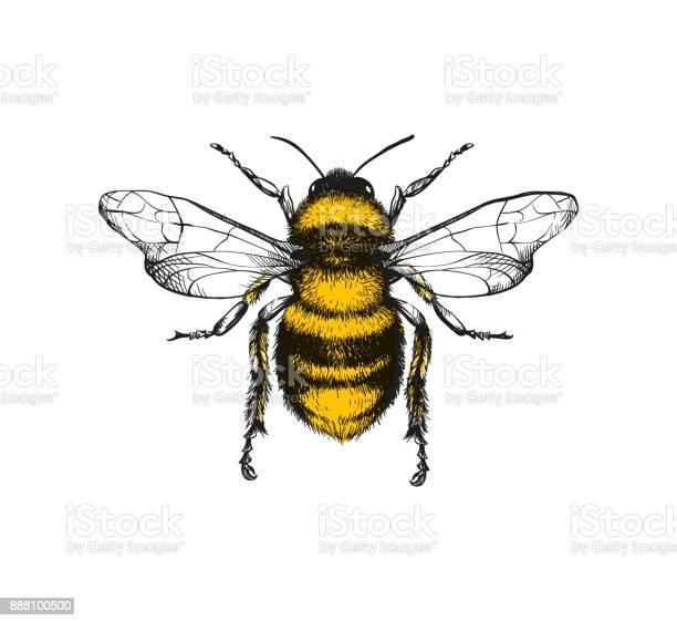 Engraving illustration of honey bee vector id888100500?b=1&k=6&m=888100500&s=612x612&h=uaj2picxyvm4ejnu0yjwa jjpjgjzfntegjh4vxbbo8=