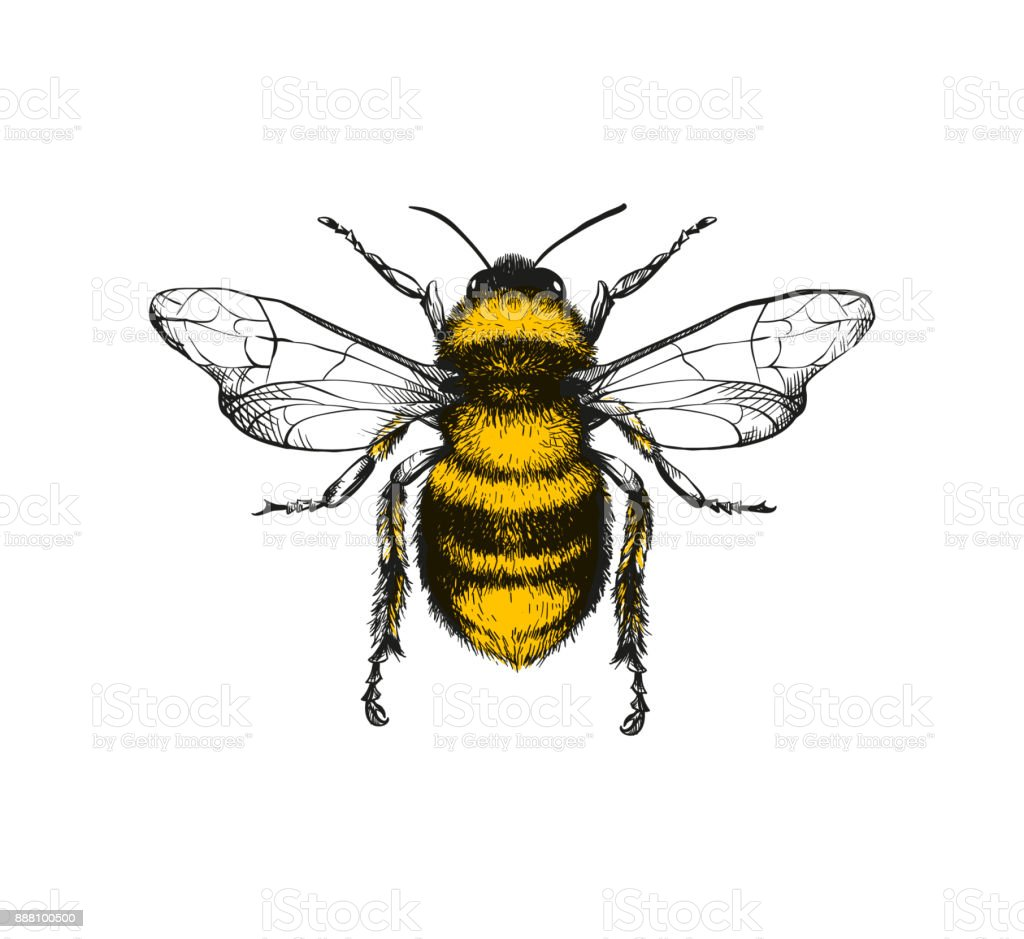 Engraving illustration of honey bee – artystyczna grafika wektorowa