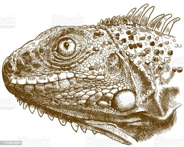 Engraving illustration of iguana head vector id1132623800?b=1&k=6&m=1132623800&s=612x612&h=wwzphz5ntgeozmkuwxlduenoi9eazsvulx7m5fa3x3c=
