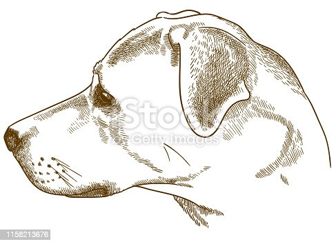 istock engraving illustration of labrador retriever cur head 1158213676
