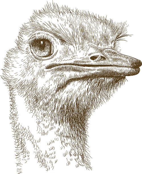 stockillustraties, clipart, cartoons en iconen met engraving illustration of ostrich head - struisvogel