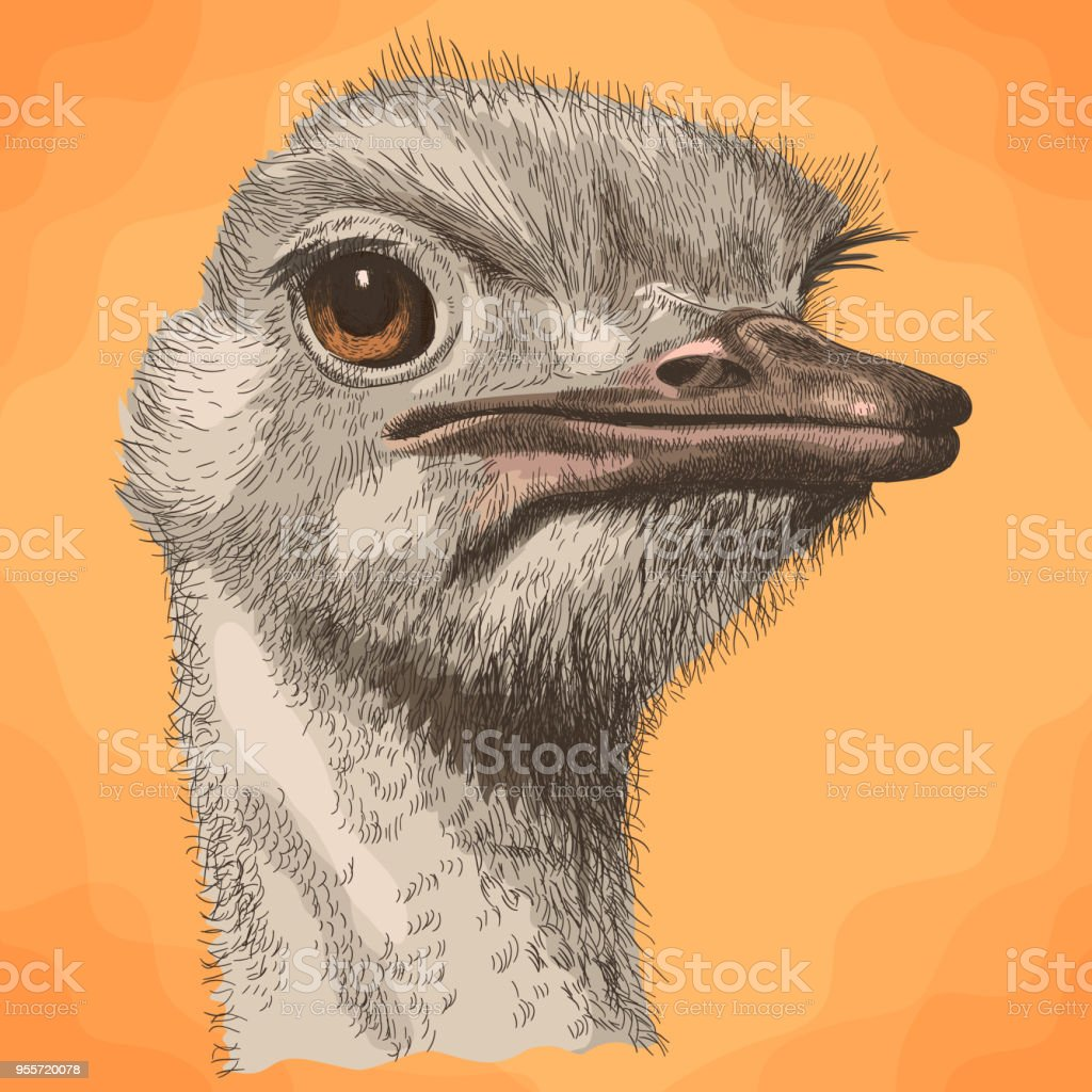 Ostrich Illustrations  Royalty-free Vector Graphics  U0026 Clip Art