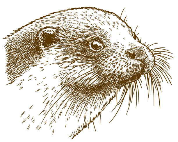 engraving illustration of otter head - otter stock illustrations, clip art, cartoons, & icons