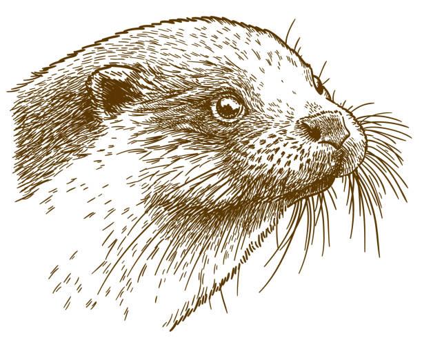 stockillustraties, clipart, cartoons en iconen met illustratie van de otter hoofd gravure - antiek toestand