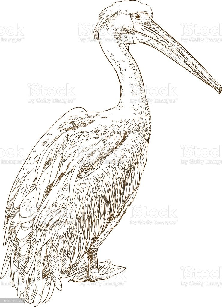 engraving illustration of pelican