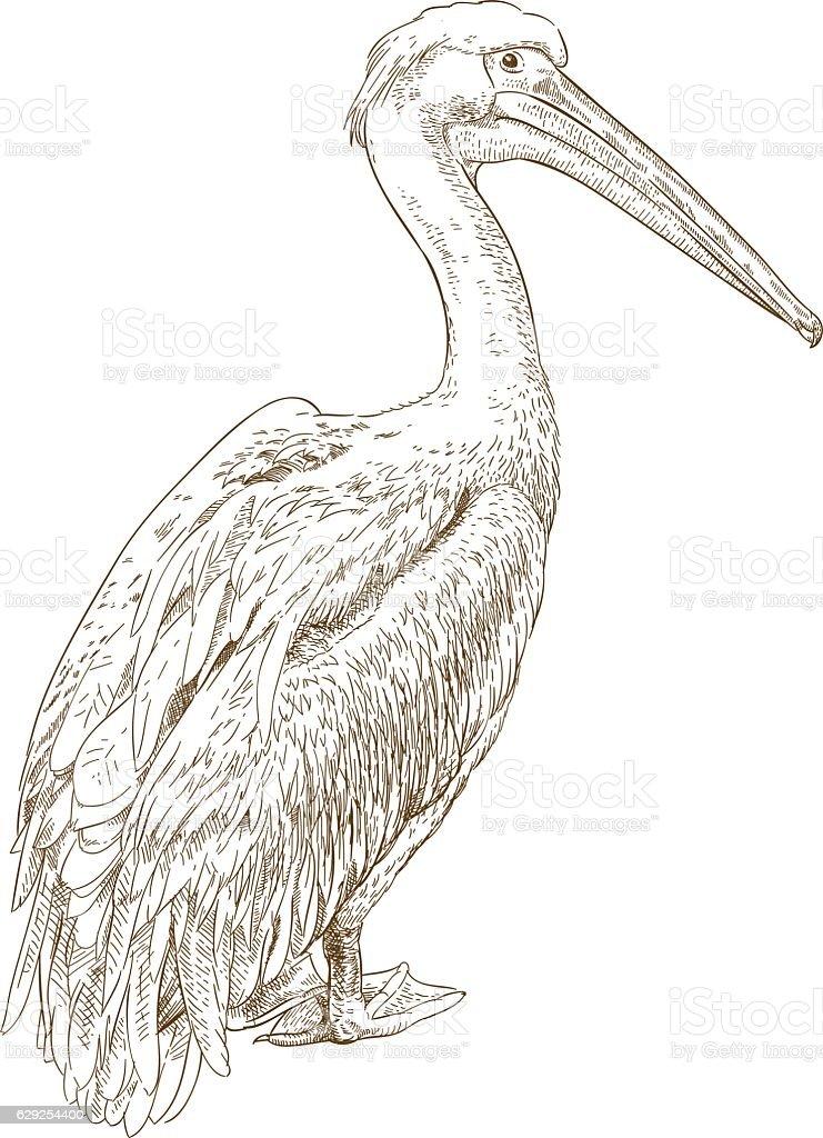 engraving illustration of pelican vector art illustration