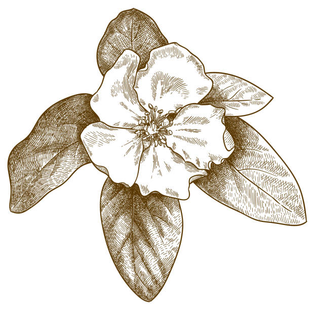 engraving illustration of quince flower Vector antique engraving drawing illustration of quince flower isolated on white background apple blossom stock illustrations