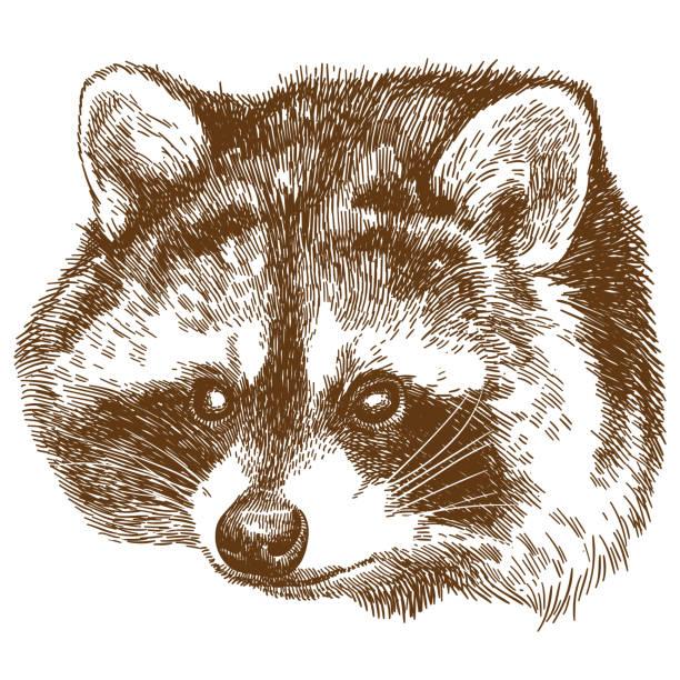 engraving illustration of raccoon head - raccoon stock illustrations