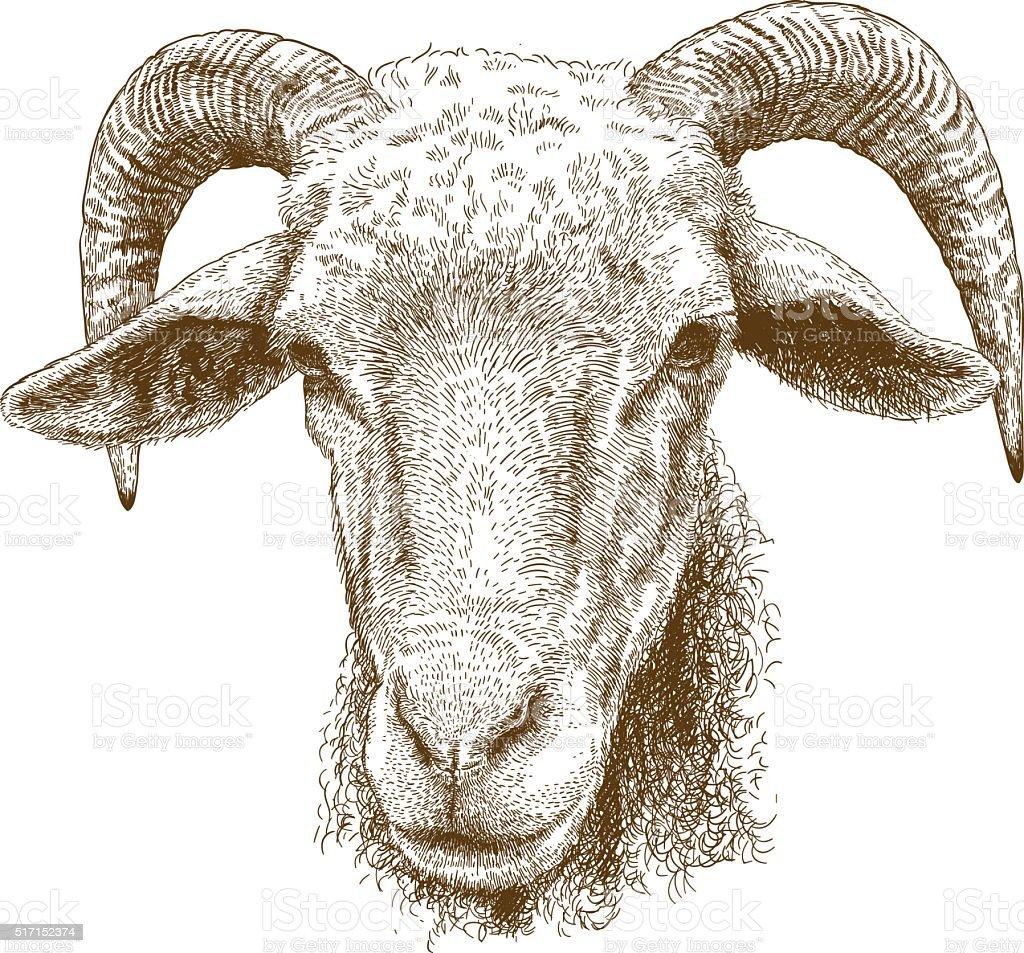 11+ Rams Head