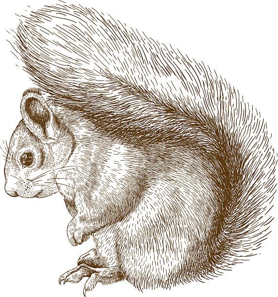 illustrations, cliparts, dessins animés et icônes de engraving  illustration of squirrel - écureui
