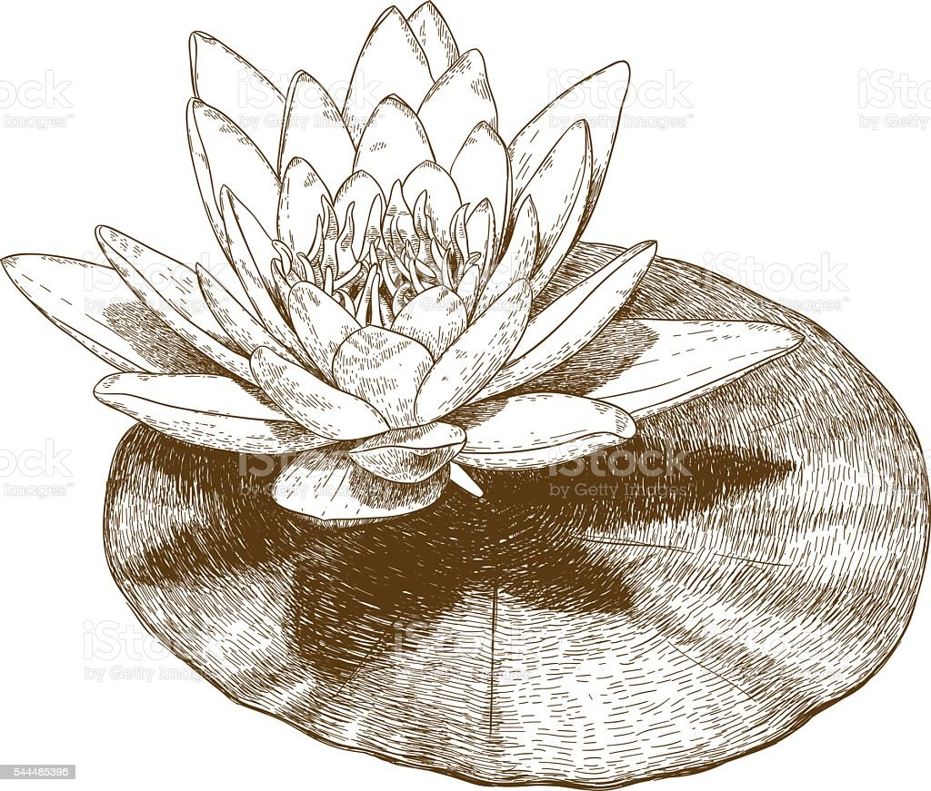 Engraving Illustration Of Water Lily Flower Stock Vector Art More