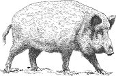 Vector antique engraving illustration of wild boar isolated on white background