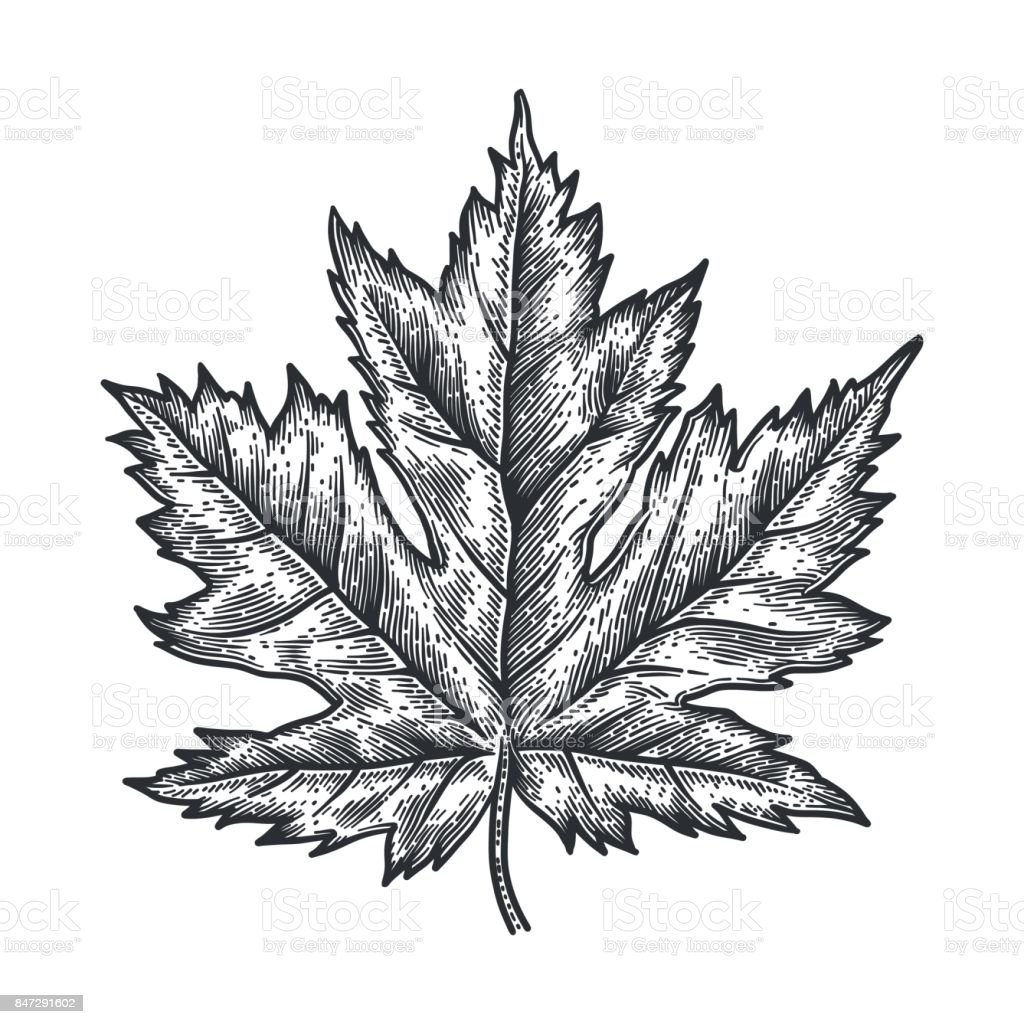 Engraving Maple Leaf isolated on white background. vector art illustration
