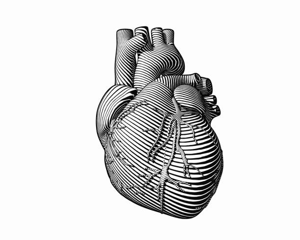 Engraving monochrome human heart style on white BG Engraving human heart with monochrome flow line art stroke isolated on white BG human heart stock illustrations