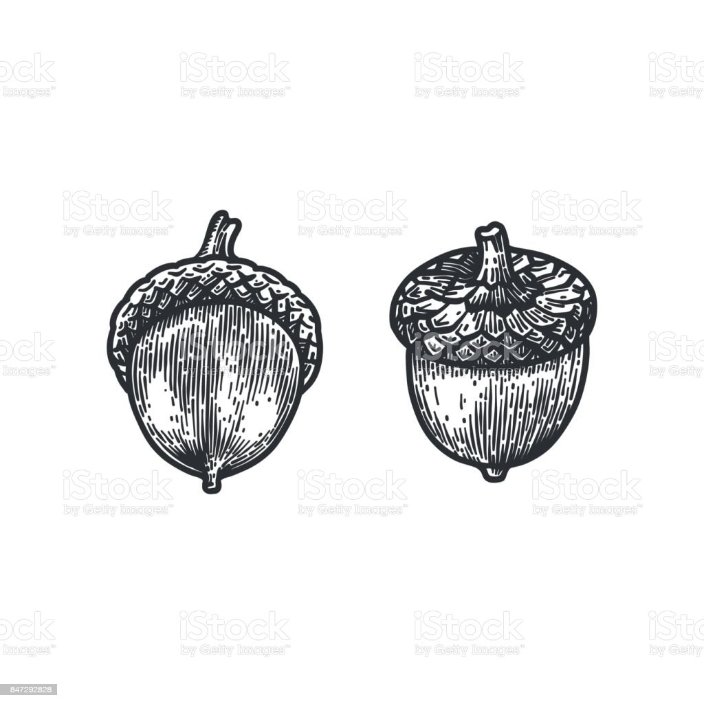 Engraving Oak Acorn isolated on white background. vector art illustration