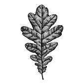 Vector illustration of Hand Drawn Engraving Oak Leaf. Eps10, Ai10.