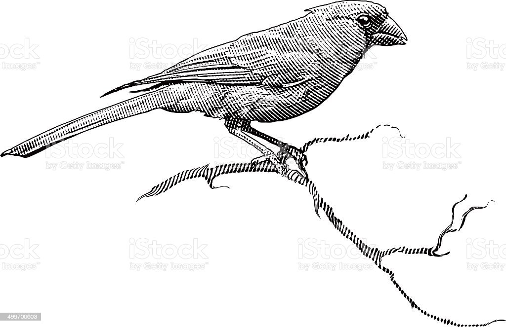 Engraving Of A Male Cardinal royalty-free engraving of a male cardinal stock vector art & more images of animal body part