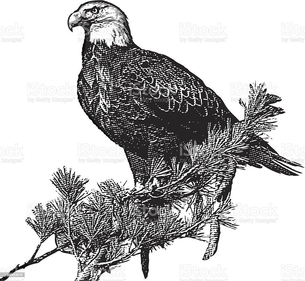 Engraving of Bald Eagle vector art illustration