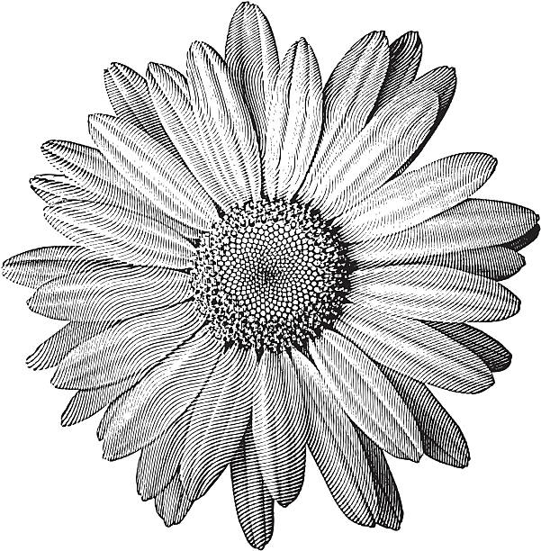 Engraving of Daisy Engraving-style illustration of a perfect daisy. chamomile plant stock illustrations