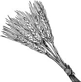 Engraving of ripe wheat bunch