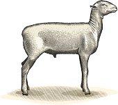 Engraving-style illustration of champion sheep.
