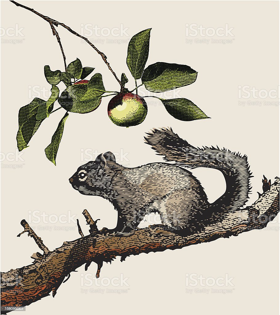 Engraving of Squirrel royalty-free stock vector art