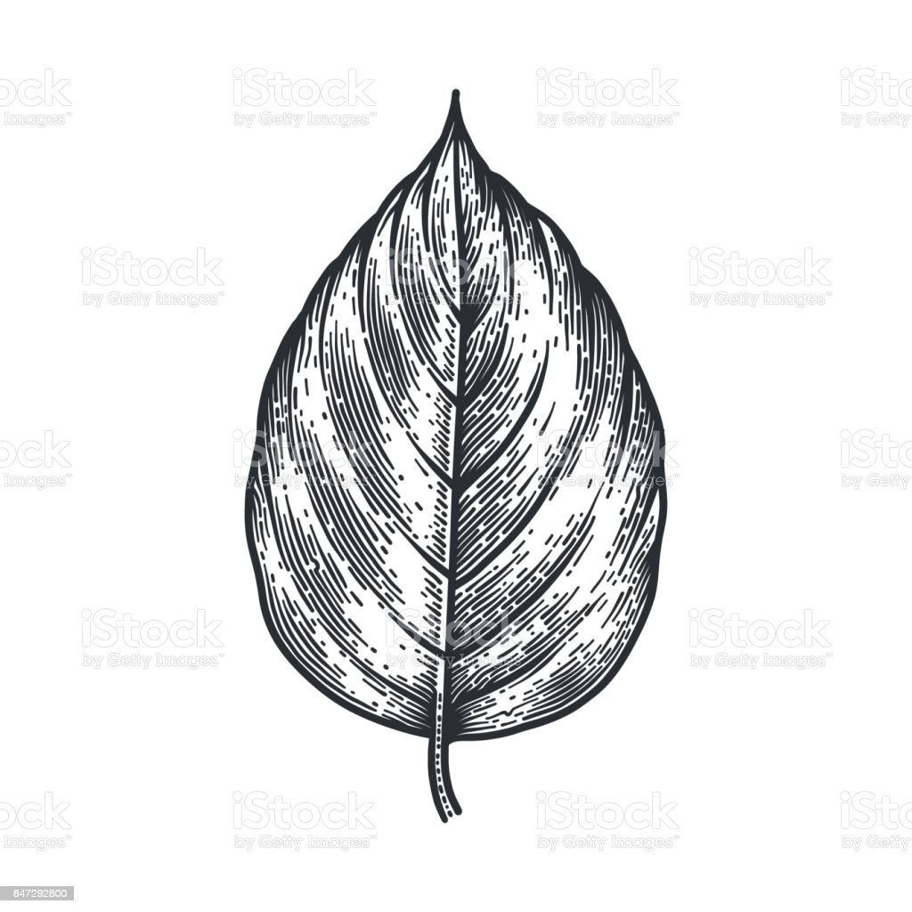 Engraving Poplar Leaf isolated on white background. vector art illustration