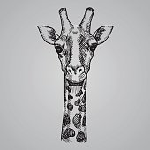 Engraving style giraffe head. African animal in sketch style. Vector illustration.