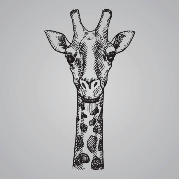 engraving style giraffe head. african animal in sketch style. vector illustration. - giraffe stock illustrations