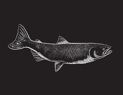 Engraving Style Marine and Nautical Element - Coho Salmon