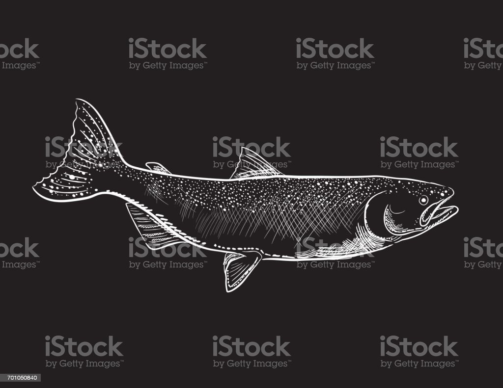 Engraving Style Marine and Nautical Element - Coho Salmon vector art illustration